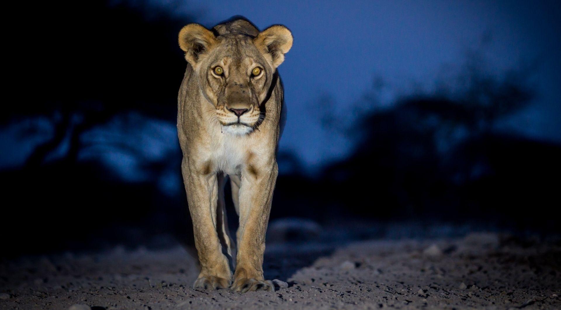 Inquisitive lion
