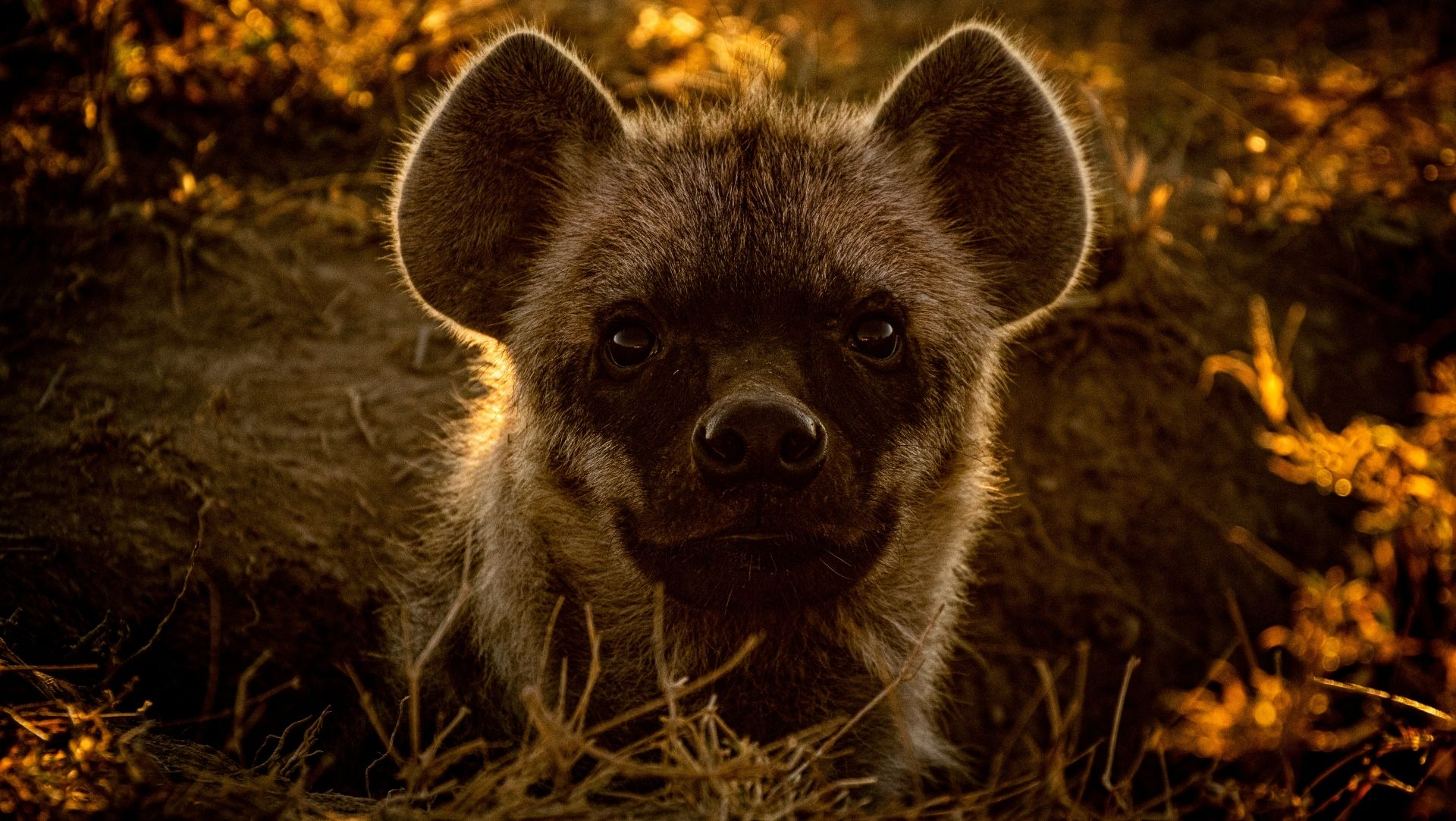 Hyena popping up from her den