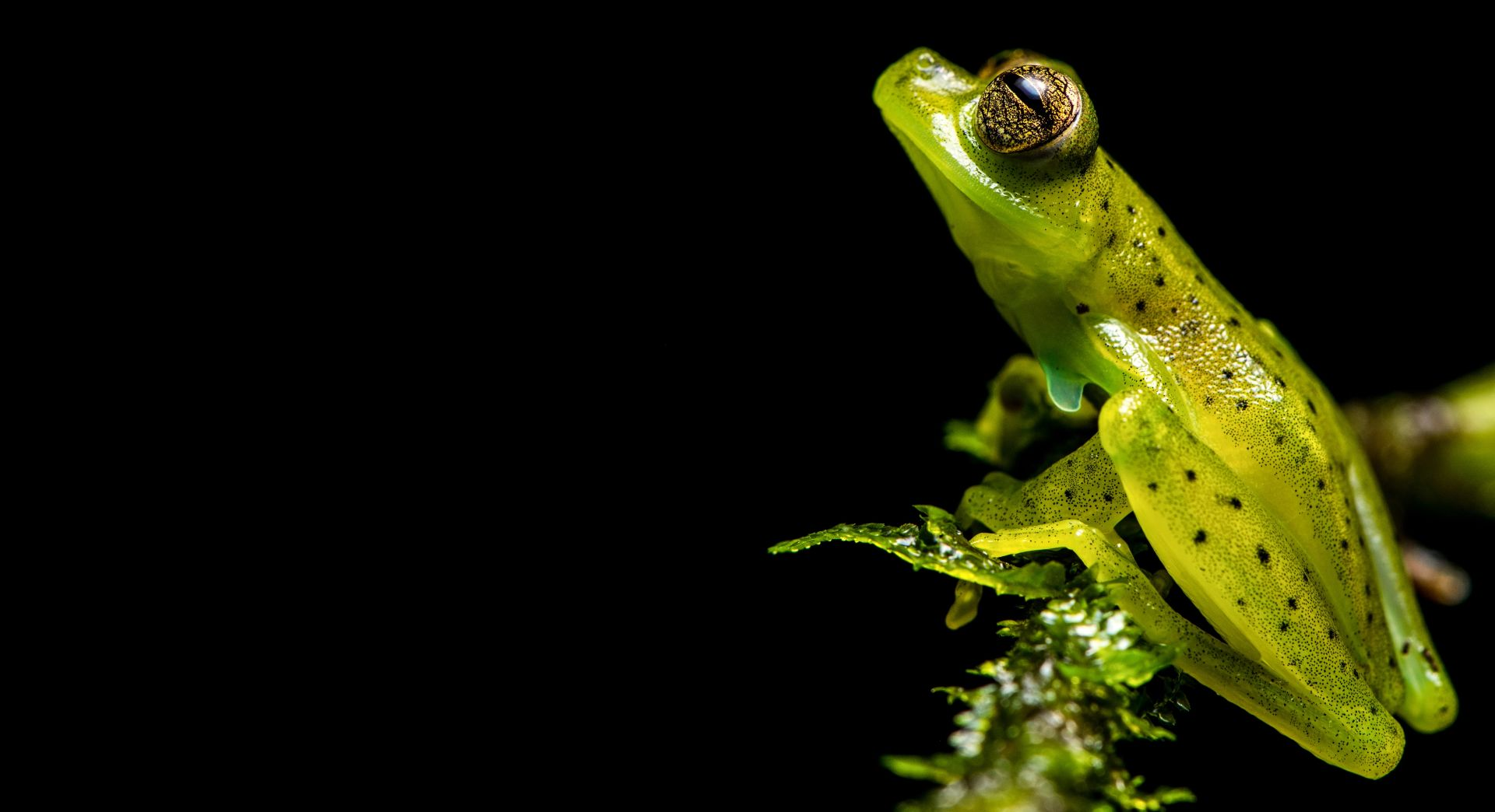 A friendly local – the Emerald Glass Frog