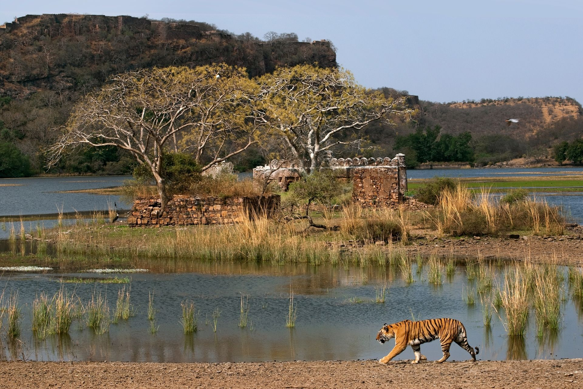 SUJAN Sher Bagh – Tiger with Ranthambore fort in background