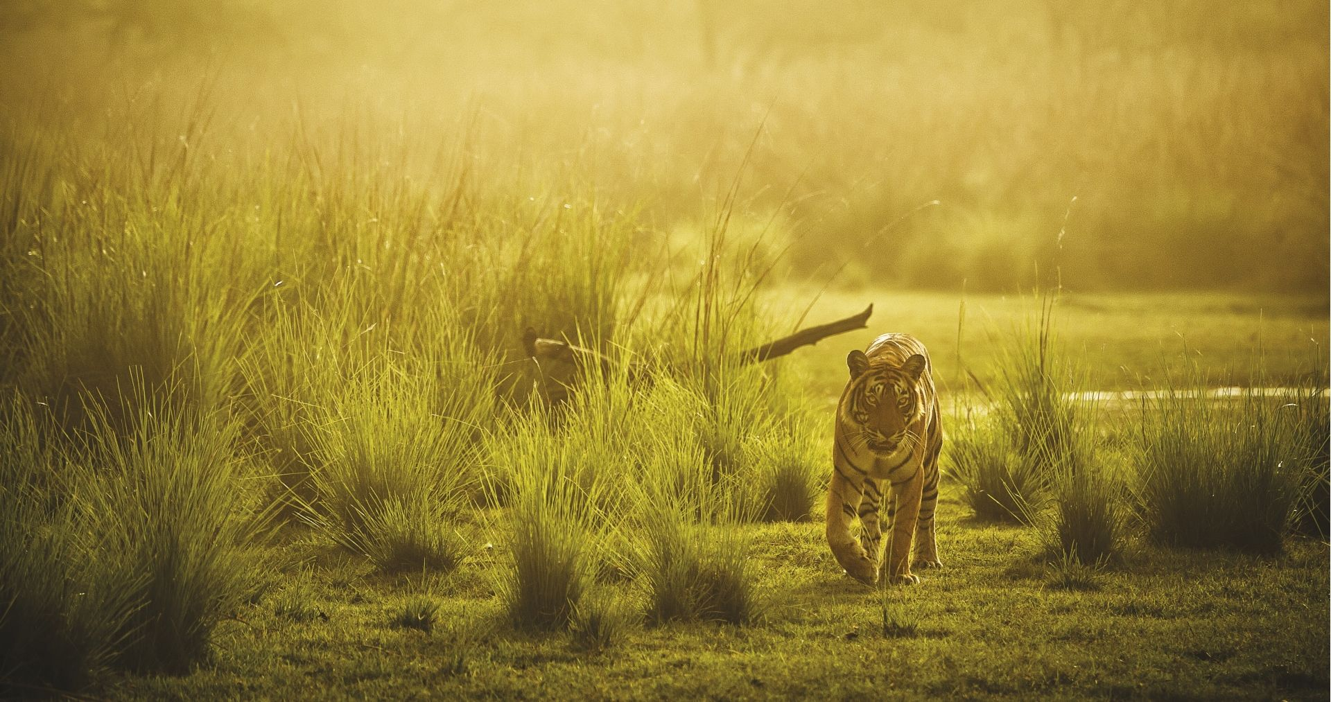 SUJAN Sher Bagh – Tiger in the mist