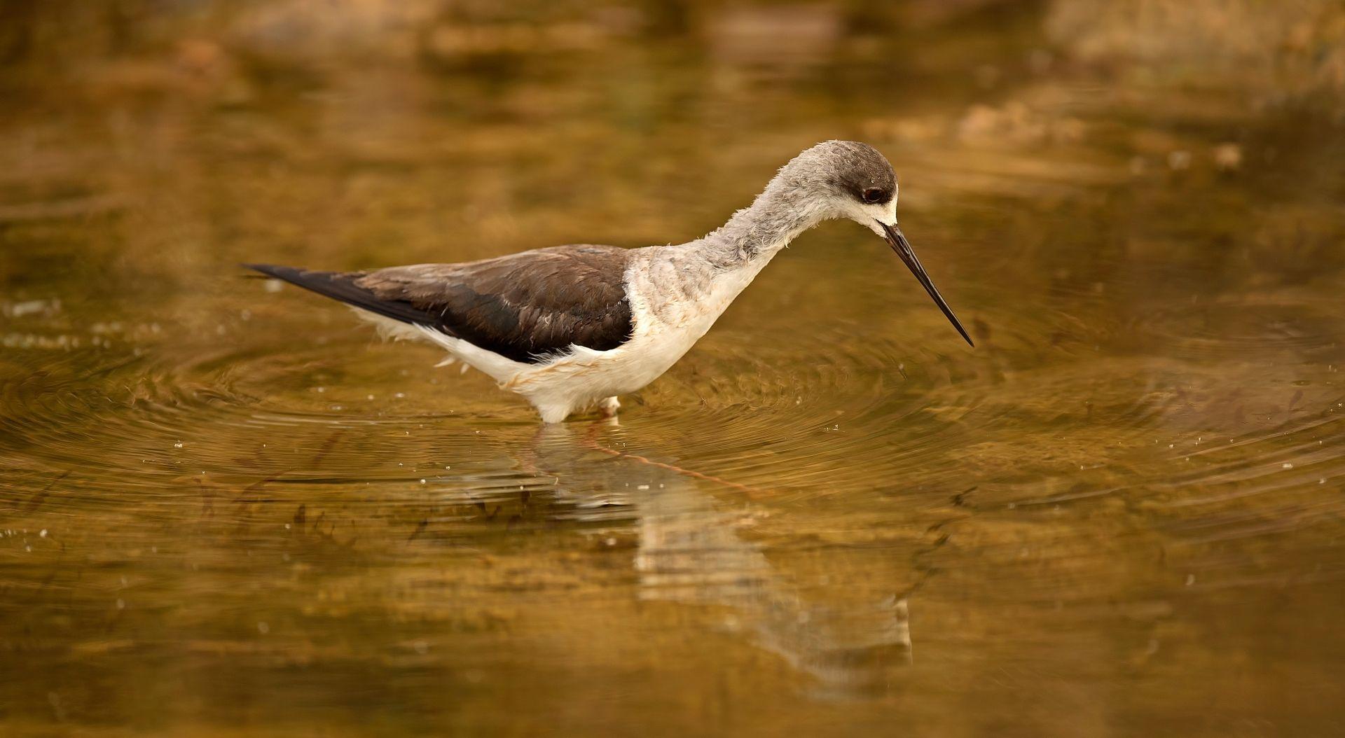 SUJAN Sher Bagh – Bird fishing