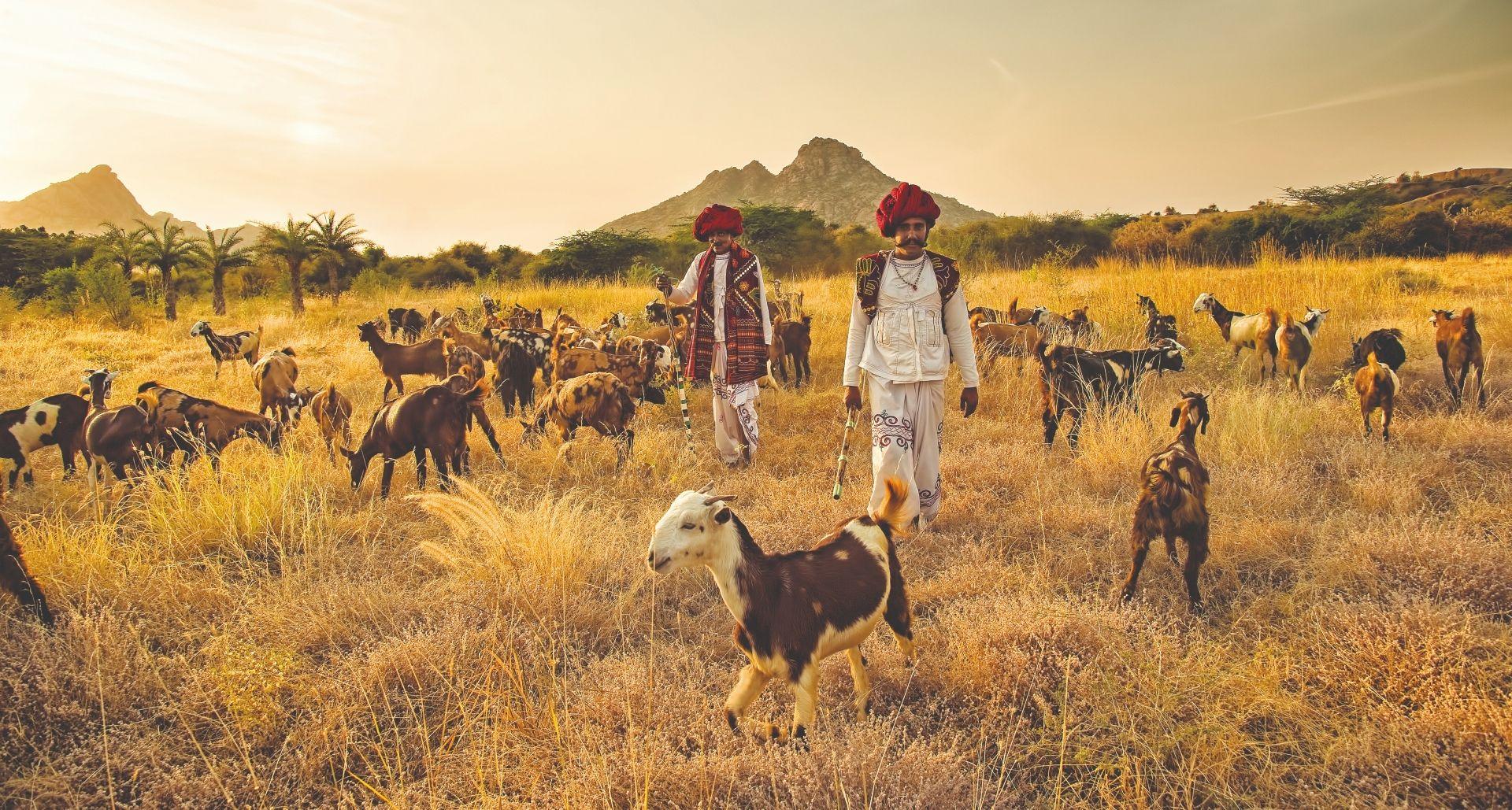 SUJAN Jawai – Rabari shepherds
