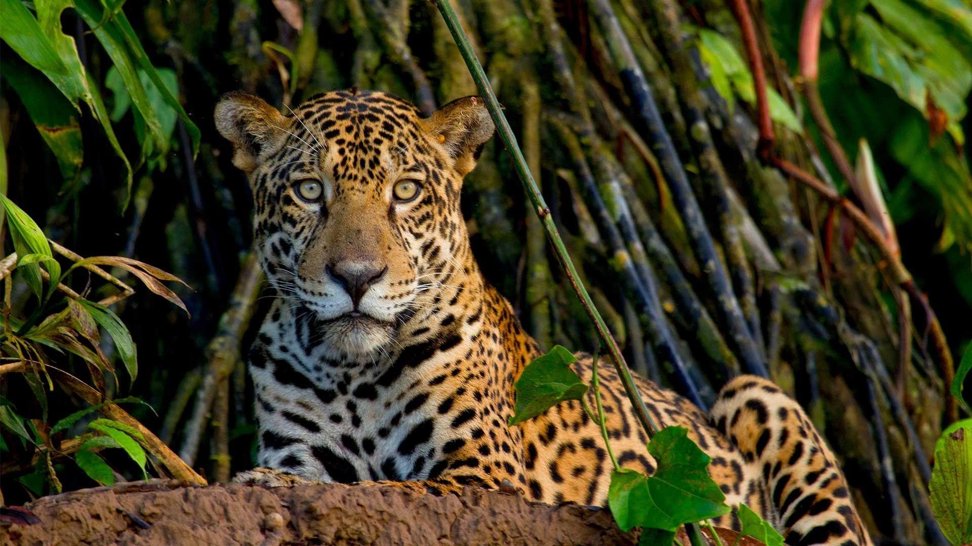 The mighty Jaguar (Photo Credit: Lucas Bustamante)