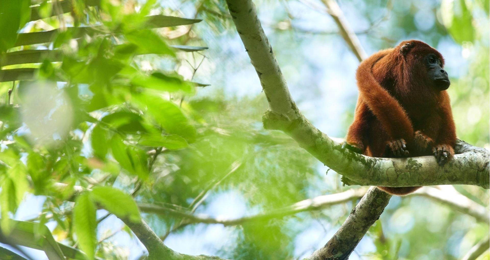Howler Monkey (Photo Credit: Paul Bertner)